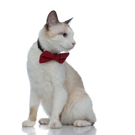 cute metis cat with red bowtie sitting and looking aside on white background Stock Photo