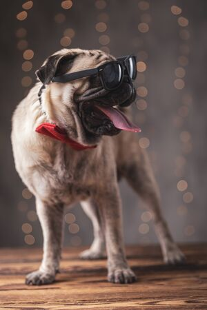 cool pug dog wearing red bowtie standing and looking aside with sunglasses on eyes on gray background Imagens