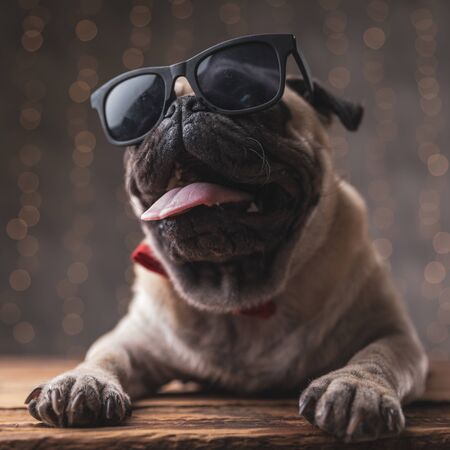 relaxed pug dog wearing sunglasses lying down and panting on gray background