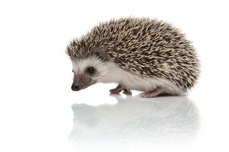 side view of cute african hedgehog walking and exploring isolated on white background, full body