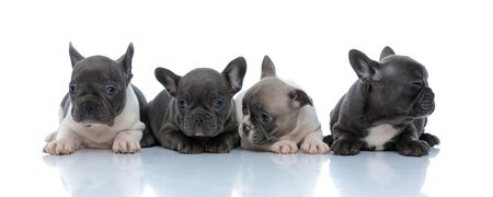 Four eager French bulldog puppies curiously looking away while laying down side by side on white studio background