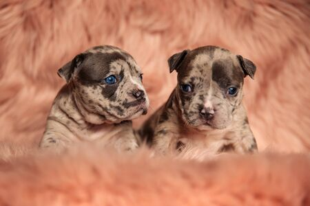two cute American bully dogs sitting and looking aside and ahead on pink studio background