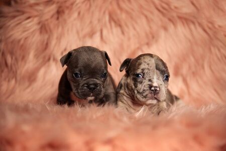 two American bully dogs lying down and looking ahead tired on pink studio background