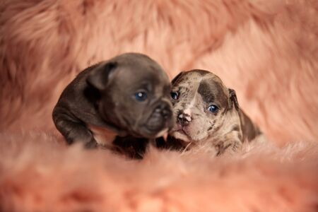 two adorable American bully dogs lying down and cuddling on pink studio background 스톡 콘텐츠