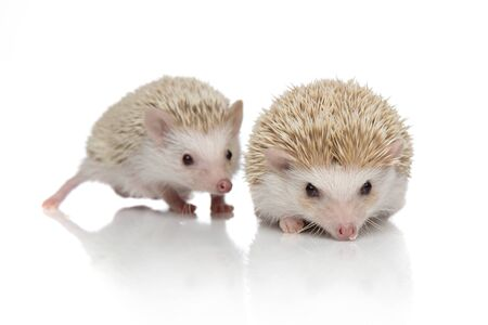 couple of two african hedgehogs walking one in front of the other one, searching and exploring, isolated on white background, full body