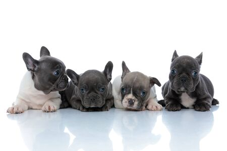 Lovely French bulldog puppies looking around while laying down side by side on white studio background