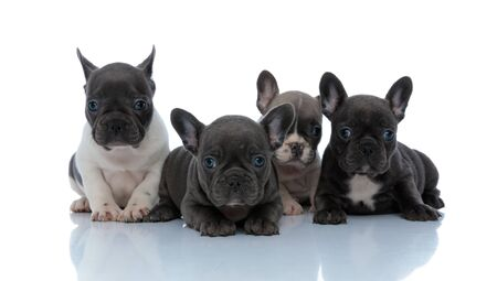 Dutiful French bulldog cubs looking forward interested while laying down next to each other on white studio background