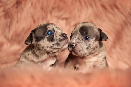 two adorable American bully dogs sitting and cuddling on pink studio background