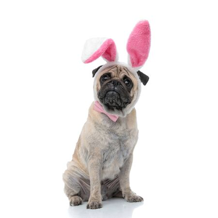 sad pug wearing bunny ears and pink bowtie, sitting isolated on white background, full body Banque d'images - 133231406
