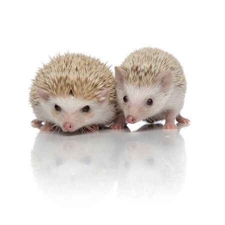 couple of two african hedgehogs standing side by side, searching and exploring, isolated on white background, full body