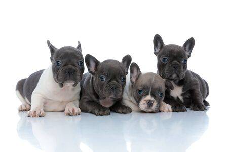 Four cheerful French bulldog puppies curiously looking away while laying down side by side on white studio background