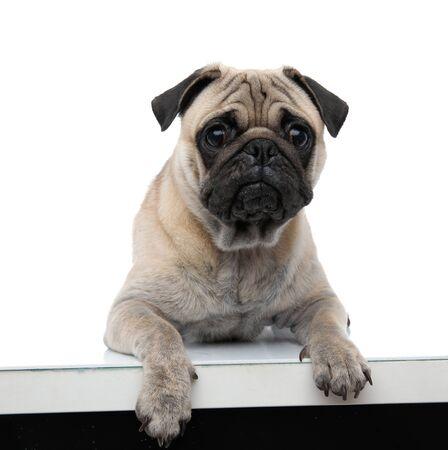 Pug joven triste sosteniendo los pies sobre la mesa, por el que se establecen aislado sobre fondo blanco, de cuerpo completo