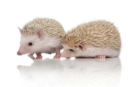 couple of two african hedgehogs searching together and standing side by side, isolated on white background, full body Zdjęcie Seryjne