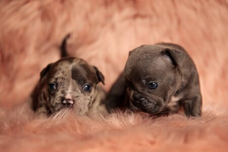 two cute  American bully dogs sitting and lying down on pink studio background  스톡 콘텐츠