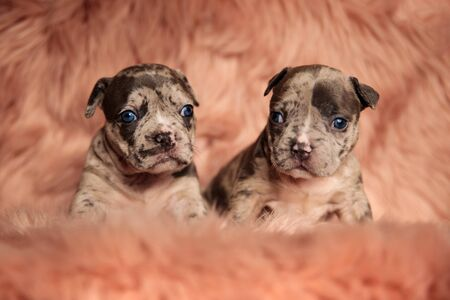 beautiful American bully dogs sitting and looking away bored on pink studio background