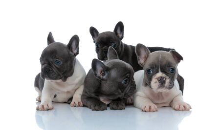 Eager French bulldog standing behind his family that are curiously looking around, laying down side by side on white studio background