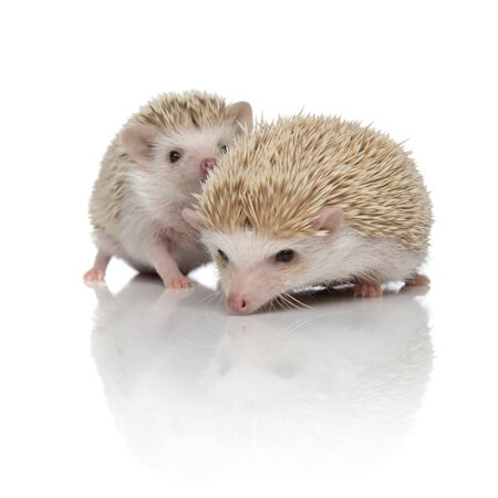 couple of two african hedgehogs exploring and searching together, isolated on white background, full body Zdjęcie Seryjne