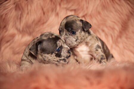 cute American bully dog sitting and cuddling his lying down friend on pink studio background