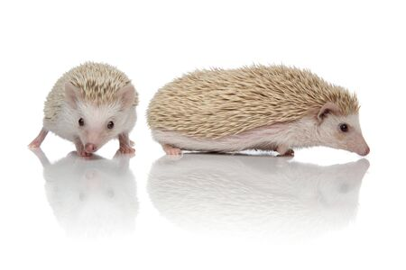 couple of two african hedgehogs exploring together and standing one in front of another, isolated on white background, full body