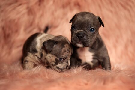 two American bully dogs sitting,one staring at camera and the other bowing his head shy on pink studio background