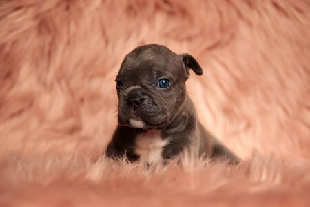 cute American bully dog with brown fur lying down and looking at camera on pink studio background