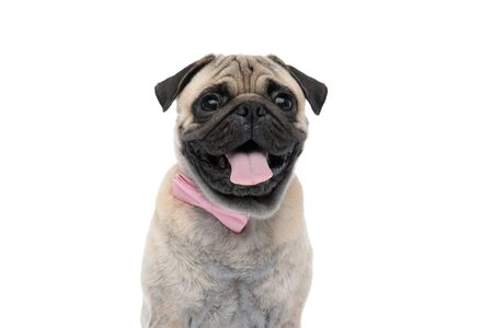 happy pug wearing pink bowtie and sticking out tongue, panting and sitting isolated on white background, portrait Foto de archivo