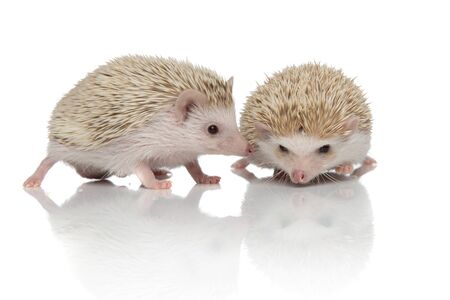couple of two african hedgehogs standing face to face, sniffing and exploring, isolated on white background, full body
