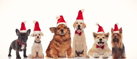 group of adorable santa dogs in a row on white background Imagens