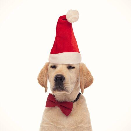 smug labrador retriever puppy wearing santa claus hat on white background Stock Photo