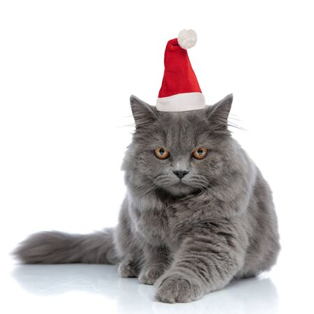 adorable british longhair cat wearing santa claus hat lying down with one paw forward serious against white studio background