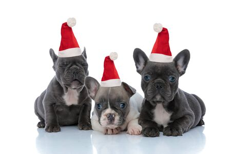 Adorable French bulldog puppies wearing santa hats looking forward and blinking while laying down and sitting side by side on white studio background