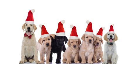 group of cute labrador retriever puppies wearing santa claus hats for christmas on white background