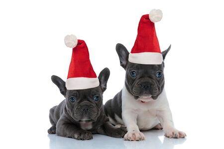 Two focused French bulldog puppies wearing santa claus hats while laying down and sitting side by side on white studio background,