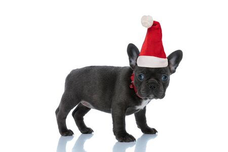 Side view of a cute French bulldog wearing santa claus christmas hat is standing white studio background Stock Photo