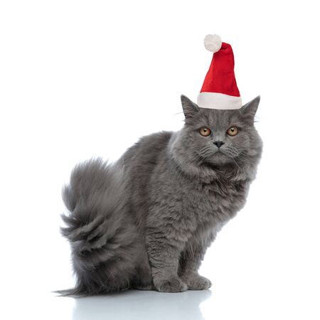 little british longhair cat wearing santa claus hat  sitting and staring at camera muffled against white studio background