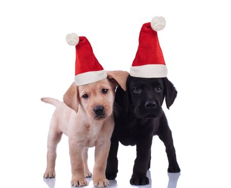 cute labrador retriever santa claus puppies standing side by side and look at the camera