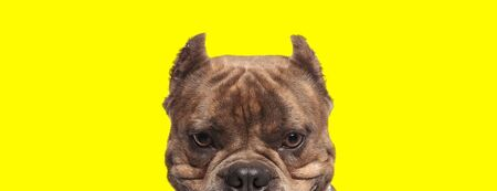 close up of a beautiful american bully dog with brown fur hiding and looking at camera happy on yellow studio background
