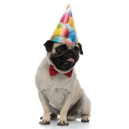 Eager pug liking his lips and looking to the side while wearing a birthday hat and a red bowtie on white studio background