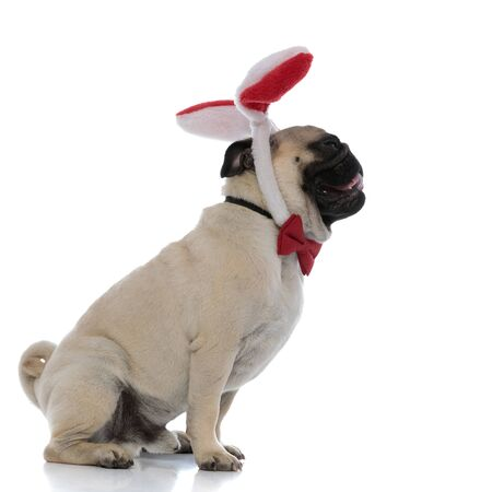 Side view of a relaxed pug looking forward while wearing bunny ears and a red bow tie, panting and sitting on white studio background