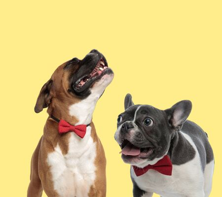 cute boxer dog moaning sad next to a french bulldog dog sticking out tongue happy on yellow background