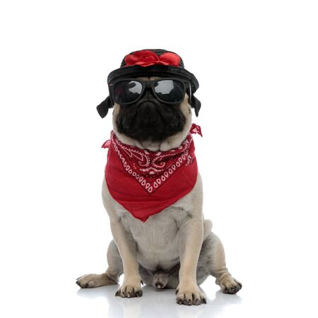 Upset pug wearing red bandana, sunglasses and a black hat decorated with flowers while sitting on white studio background