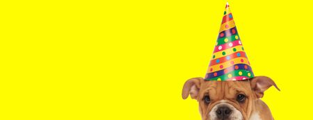close up of a cute english bulldog dog wearing a birthday hat and hiding shy on yellow studio background