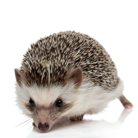 cute african hedgehog with black fur walking ahead and sniffing something on white studio background Archivio Fotografico