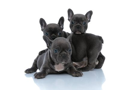 Three adorable French bulldog puppies being dutiful and looking away while laying down and standing in front of each other on white studio background 免版税图像