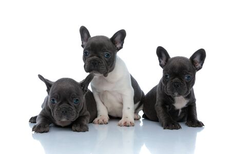 Adorable French bulldog cubs looking around interested while laying down and sitting side by side on white studio background