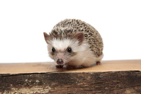 cute african hedgehog with black fur standing on a wooden board and looking at camera happy on white studio background