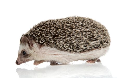 side view of an adorable african hedgehog with black fur walking on his path happy on white studio background