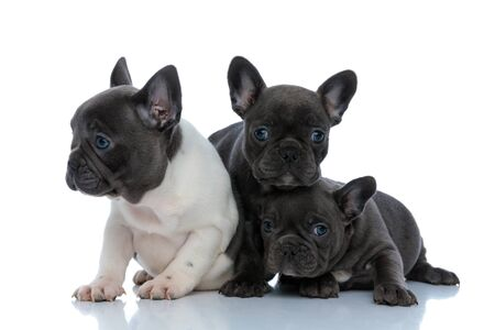 Three dutiful French bulldog puppies curiously looking around while laying down, standing and sitting side by side on white studio background
