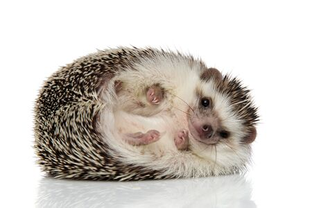 adorable african hedgehog with black fur rolling over happy on white studio background