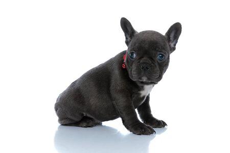 Vista lateral de un cachorro de bulldog francés enfocado preguntándose y esperando mientras usa un collar rojo y sentado sobre fondo blanco de estudio Foto de archivo
